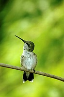 A curious juvenile male ruby-throated hummingbird checks out the skies above him, Pennsylvania, USA
