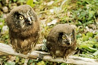 Young Tengmalm´s Owls Aegolius funereus, also called Boreal Owls. Sweden.