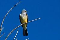 Western kingbird Tyrannus verticalis in Las Vegas, New Mexico.
