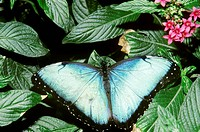 Blue morpho butterfly, Morpho peleides, resting on a lantana flower at the Magic Wings Butterfly Conservatory and Garden in South Deerfield, Massachus...