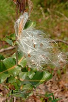 White Milkweed Fruit Asclepias variegata. Rose Hill, North Carolina