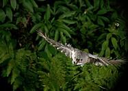Tufted titmouse Parus bicolor in Flight.