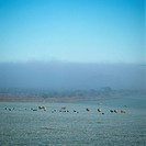 Sheep grazing on misty, frosty pasture with an inversion layer caused by the cold.