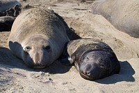 Northern Elephant Seal Mirounga angustirostris females give birth to a single pup. Pups are black at birth and may weigh up to 65 pounds. Pups molt th...