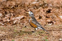 A leucistic American Robin Turdus migratorius. Leucism is a condition characterized by reduced pigmentation in animals.