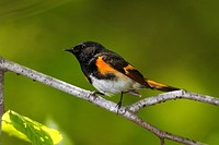 American redstart Setophaga ruticilla, a New World warbler.