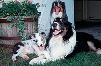 Australian Shepherd Merle Family laughing. This is a breed of working dog with Merle markings.