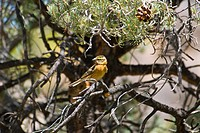 Black_headed Grosbeak, Pheucticus melanocephalus, female, Wildrose Canyon, Death Valley National Park, California.