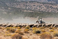 Peruvian Sheepherder with domesticated sheep Ovis aries on a sage brush habitat in Idaho.