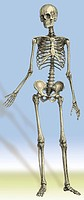 Illustration of a standing human skeleton.