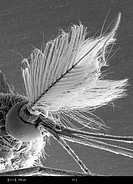 Male mosquito head family Culicidae. The large bushy antenna is used to detect females. The individual eye lenses detect levels of light and dark in d...