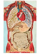 A vintage diagram of the different internal organ systems in the human body