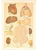 Medical illustrations of organs from a vintage book