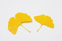 Yellow Gingko Leaves on White Background