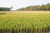 Rice paddy in a field, Shravanabelagola, Hassan District, Karnataka, India