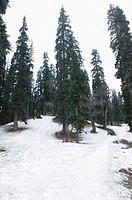 Trees on a snow covered landscape, Khilanmarg, Gulmarg, Jammu And Kashmir, India