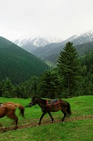 Mules walking on a landscape, Gulmarg, Jammu And Kashmir, India