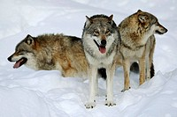 Wolves (Canis lupus) in winter, captive, Germany