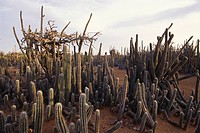 Landscape with cacti, Bonaire, ABC Islands, Netherlands Antilles, Antilles, Carribean