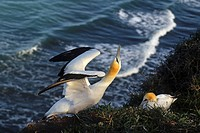 Close_up of gannet, mainland colony at Muriwai, New Zealand