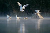 Black_headed Gulls in winter, Larus ridibundus, Bavaria, Germany
