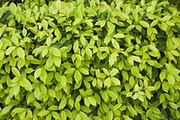 Close_up of leaves, Gurgaon, Haryana, India