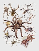 Zoology: Arachnida - Spiders - Argiope. Art work
