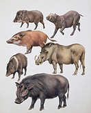 Zoology: Mammals - Suidae. Art work