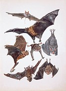 Various animals of the bat family