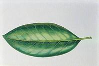 Botany: Magnolia L., Art work