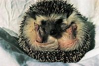 Zoology - Mammals - Rodentia. Porcupine (genus Hystrix)