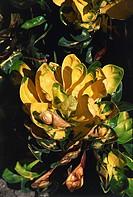 Botany - Euphorbiaceae. Garden croton (Codiaeum variegatum). Leaves
