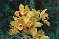 Close_up of Cymbidium hybrid orchid flowers