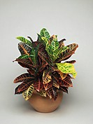 Close_up of a Croton plant Codiaeum variegatum