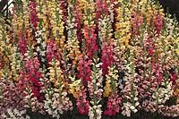 Botany - Scrophulariaceae. Garden snapdragon (Antirrhinum majus)