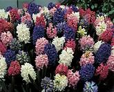 Gardening - Liliaceae. Garden hyacinth (Hyacinthus orientalis). White Madame Sophie, fuchsia Amethist, violet Blue Magic, pink Princess Irene cultivar...
