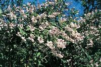 Botany - Hydrangeaceae. Fuzzy pride-of-Rochester (Deutzia scabra)