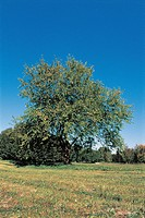 White mulberry tree in a field Morus alba