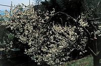 Botany - Trees - Rosaceae. Azarole (Crataegus azarolus)