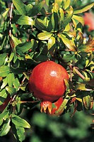 Close_up of a Pomegranate on a tree Punica granatum