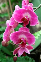 Orchid, Phalaenopsis spec., bloom, pink, flower, boy_herb_plant, Orchidaceae, orchid_bloom, ornamental_plant, petals, prime, nature, floristic, symbol...