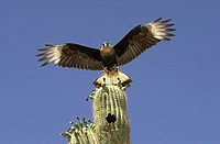 A Crested Caracara polyborus plancus, a bird of prey that is a member of the falcon group, nests in a saguaro cactus east of Sells, Arizona, on the To...