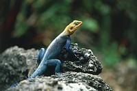 Kenya. Tsavo National Park. Agama agama. Lizard
