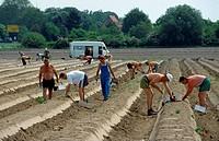 Germany, Baden_Württemberg, Walldorf, asparagus_harvest, harvesters, harvest_helpers, workers, people, men, temporary workers, field, asparagus_field,...