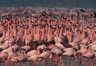 LESSER FLAMINGO dense flock Phoenicopterus minor. Lake Nakuru National Park. Kenya