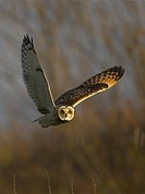 Short_eared owl Asio flammeus hunting over its wintering grounds