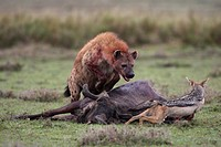 SPOTTED HYENA Crocuta crocuta chasing BLACK_BACKED JACKAL Canis mesomelas from kill. Masai_Mara National park. Kenya