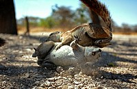 SOUTH AFRICAN or CAPE GROUND SQUIRREL Xerus inauris two fighting. Etosha NP. Namibia. Africa