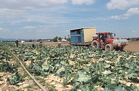 field, cultivation, cabbage, tractor, harvest_helpers, work, earth, vegetable_cultivation, cabbage_cultivation, vegetables, useful plants, workers, ha...