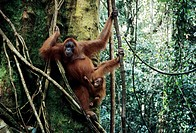 Sumatran orangutan Pongo pygmaeus abelii